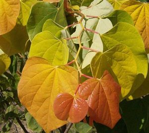 Redbud Trees Available Online Best Prices