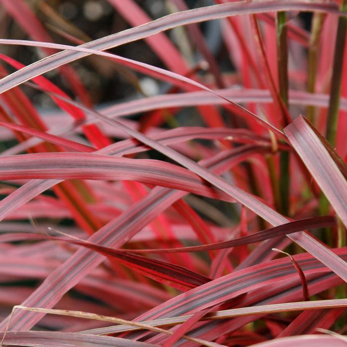 Fireworks Purple Fountain Grass Buy Online Best Prices
