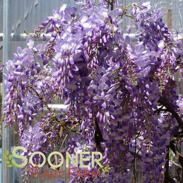 Lavender Falls Wisteria Buy Online, Best Prices