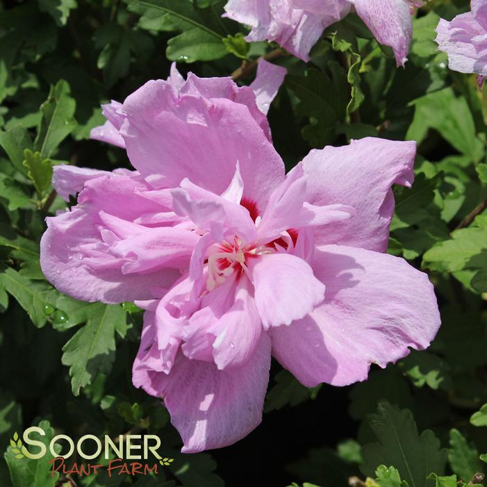 Ardens Purple Double Althea Buy Online Best Prices