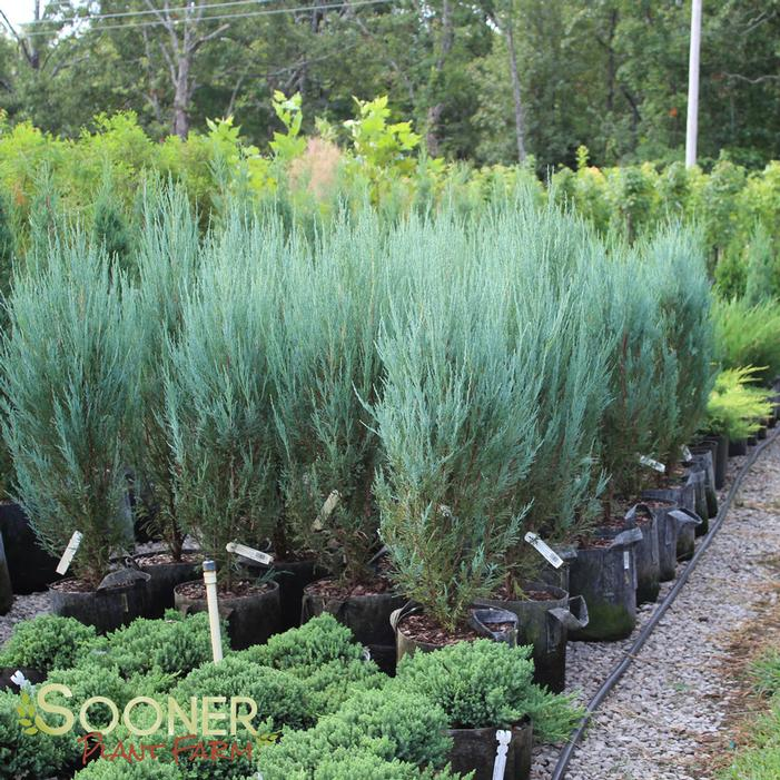 Blue Arrow Juniper Buy Online Best Prices