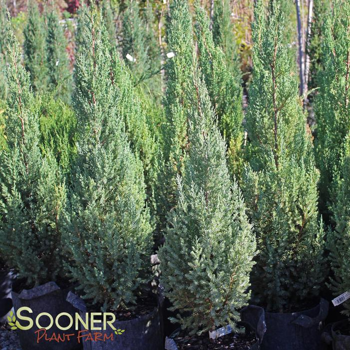 Blue Point Juniper Buy Online Best Prices