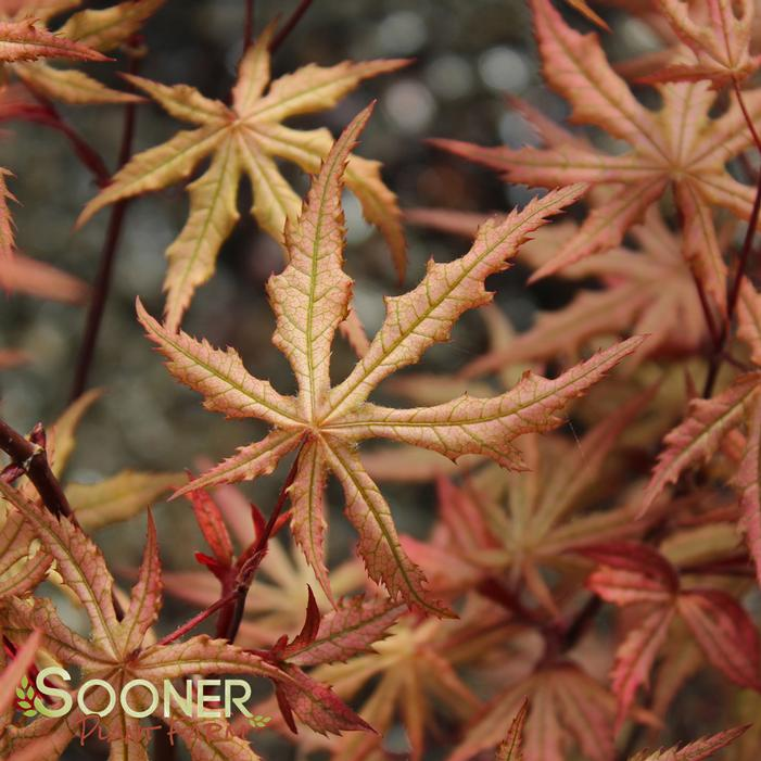Amber Ghost Japanese Maple Buy Online Best Prices