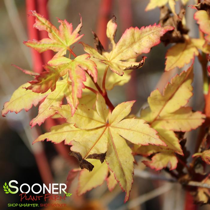 Winter Flame Japanese Maple Buy Online Best Prices
