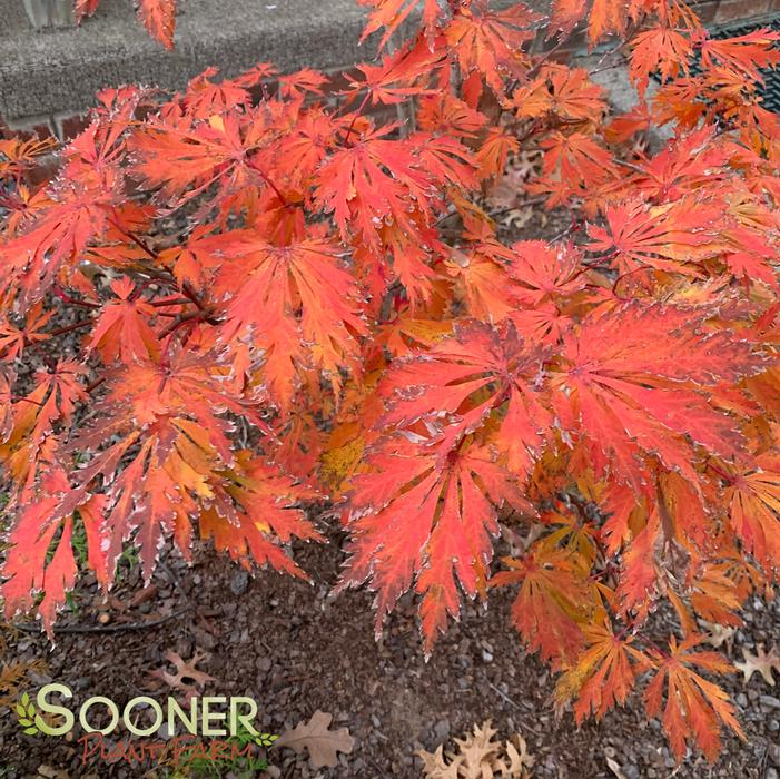 Dancing Peacock Japanese Maple Buy Online Best Prices