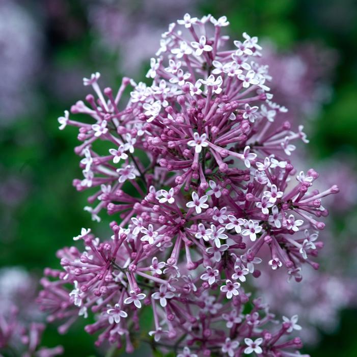 Bloomerang 174 Purple Lilac Buy Online Best Prices
