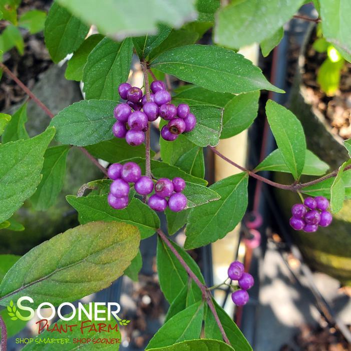 Purple Pride Beautyberry Buy Online Best Prices