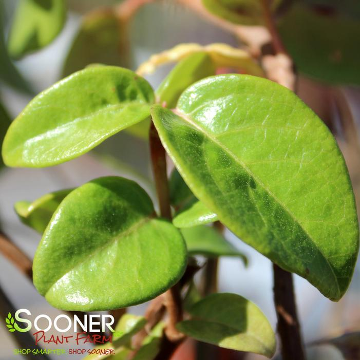 Barbara Ann Climbing Hydrangea Buy Online Best Prices