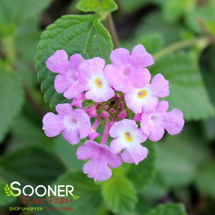 Purple Trailing Lantana Buy Online Best Prices
