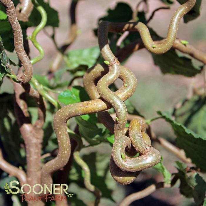 Harry Lauder S Walking Stick Image Property Of Sooner Plant Farm
