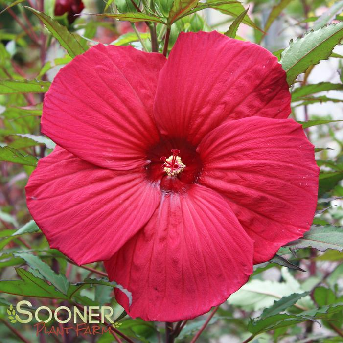 Fireball Fleming Hardy Hibiscus Buy Online Best Prices