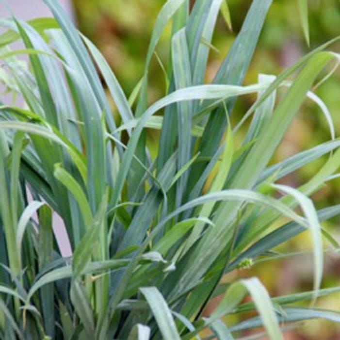 Bunny blue sedge buy online best prices for Low mounding ornamental grasses