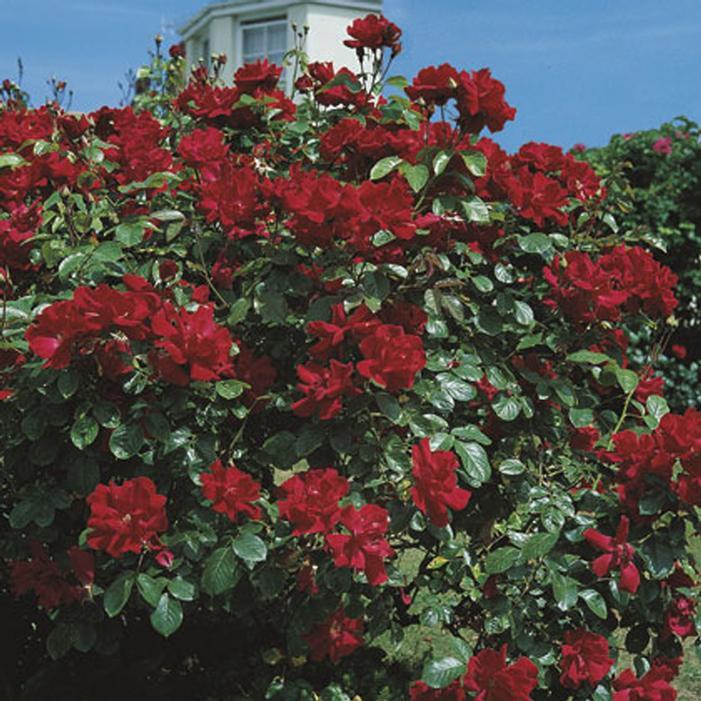 Don Juan Climbing Rose Buy Online Best Prices