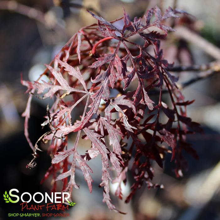 Orangeola Japanese Red Maple Buy Online Best Prices