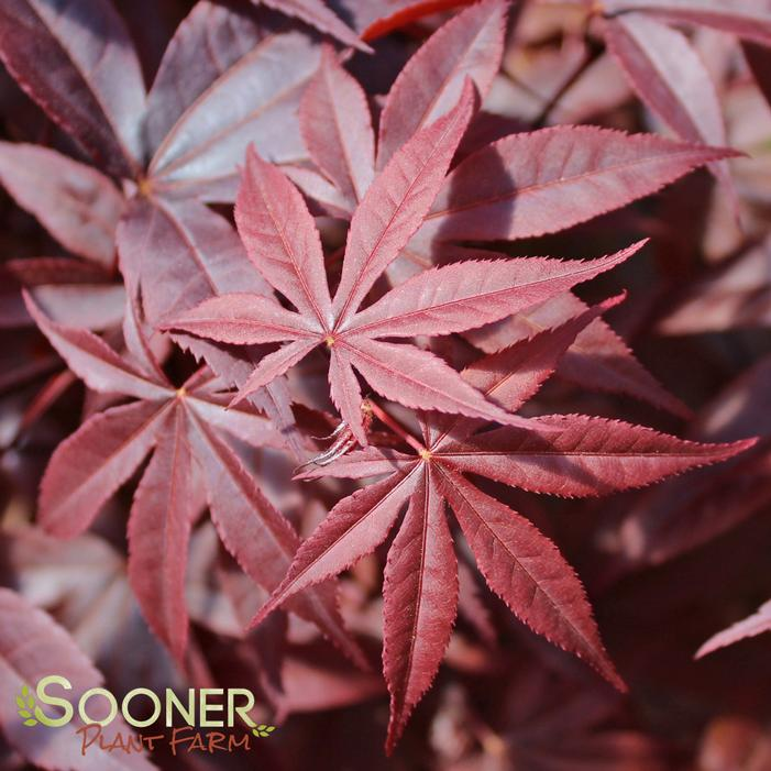 Red Emperor Japanese Maple Buy Online Best Prices
