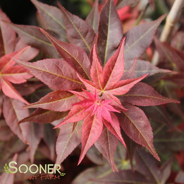 Ruby Stars Japanese Maple Buy Online Best Prices