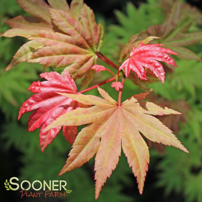 Autumn Moon Japanese Maple Buy Online Best Prices