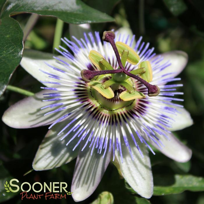 Passion Flower Buy Online Best Prices