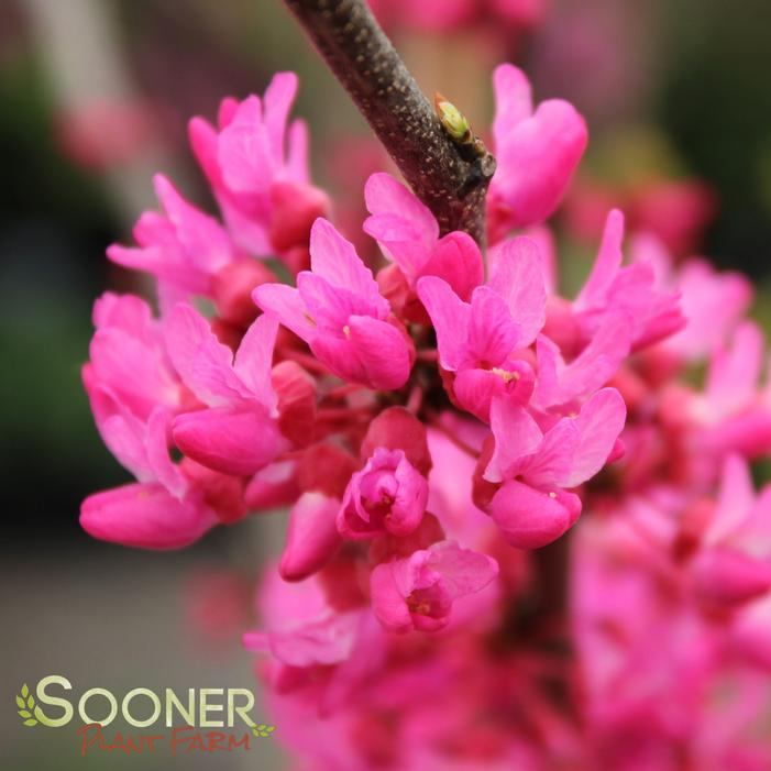 Appalachian Red Redbud Buy Online Best Prices