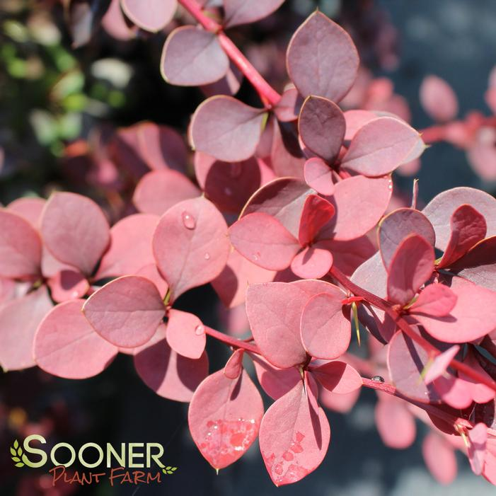 Courtesy of Spring Meadow Nursery