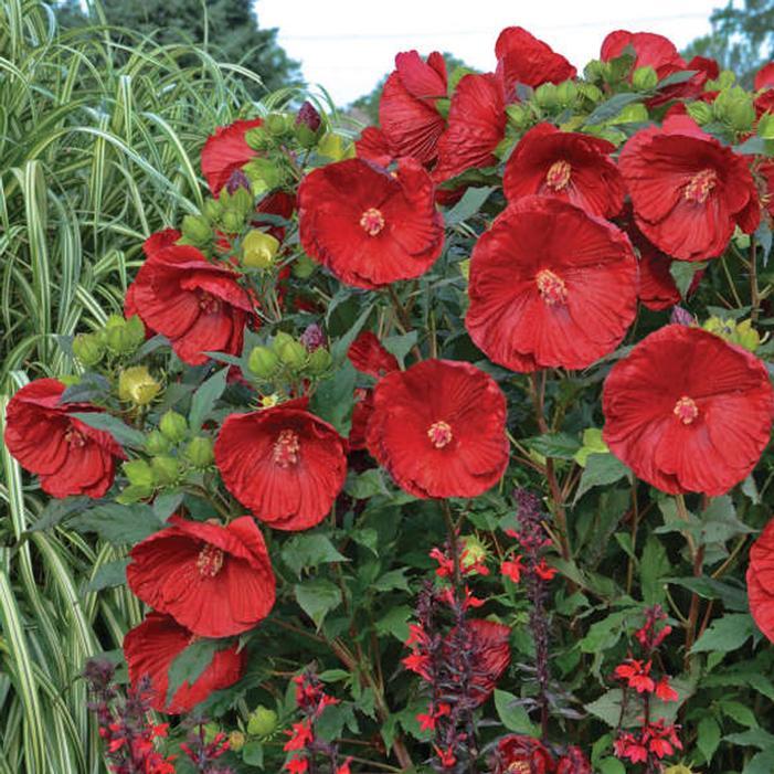 Summerific 174 Cranberry Crush Hardy Hibiscus Buy Online