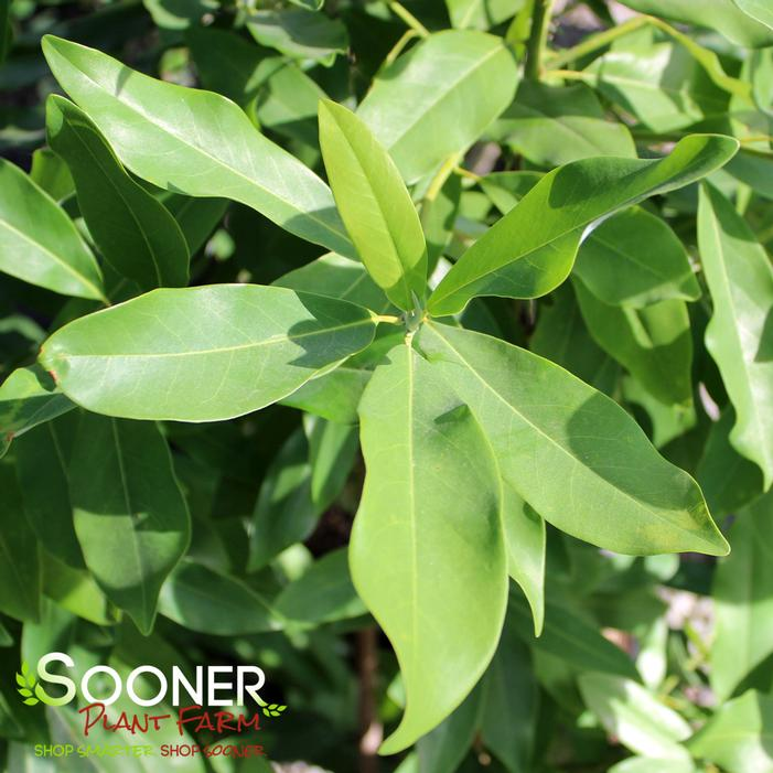 Sweetbay Magnolia Buy Online Best Prices
