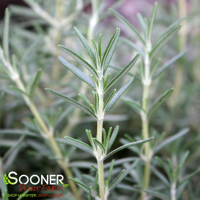 Tuscan Blue Rosemary Buy Online Best Prices