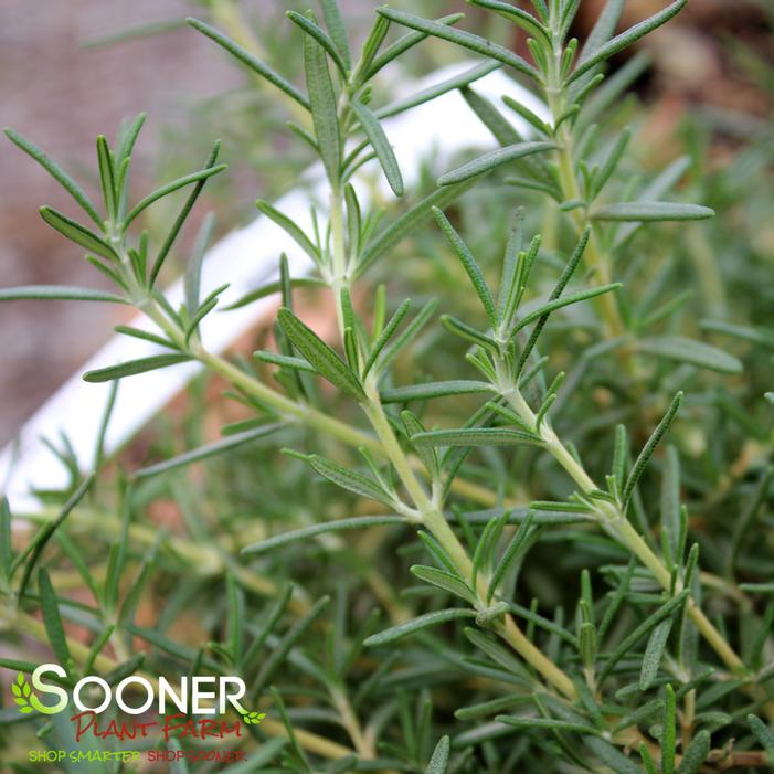 Prostrate Rosemary Buy Online Best Prices