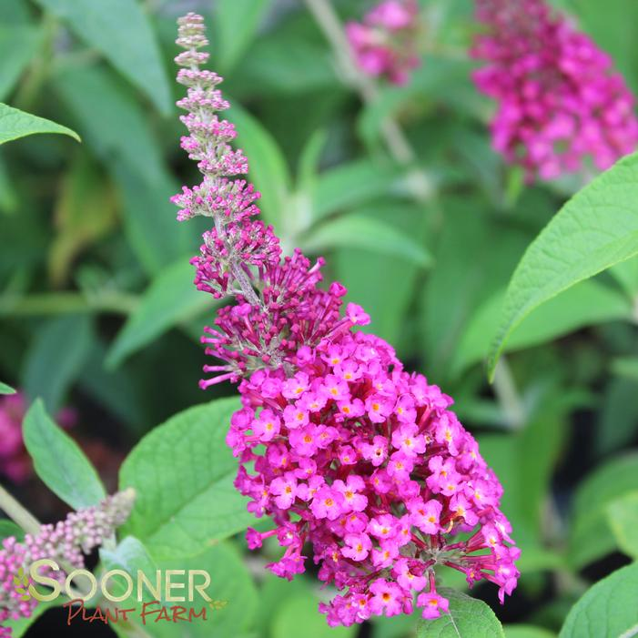 Cranrazz Butterfly Bush Buy Online Best Prices