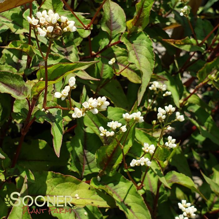 Persicaria Microcephela /'Red Dragon hardy perennial plant in 1 litre pot
