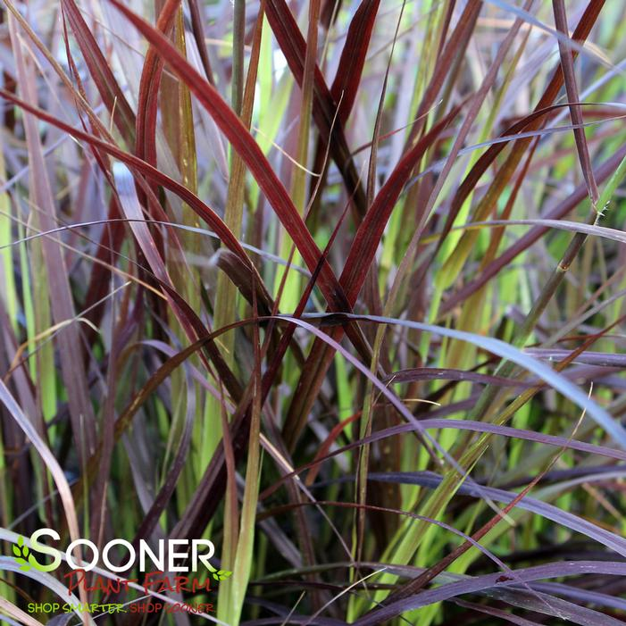 Purple fountain grass buy online best prices for Purple grass perennial
