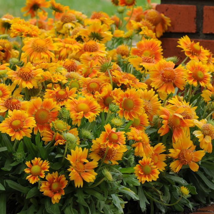 Mesa Peach Blanket Flower Buy Online Best Prices