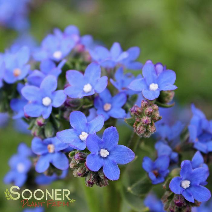 Anchusa capensis 'Blue Angel' BUGLOSS 'BLUE ANGEL'  FORGET ME NOT from Sooner Plant Farm