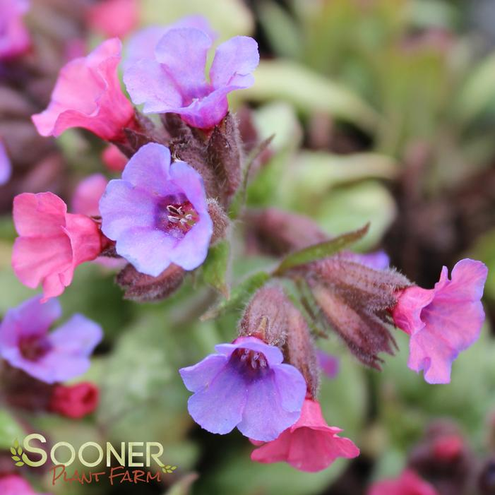 Silver Bouquet Lungwort Buy Online Best Prices