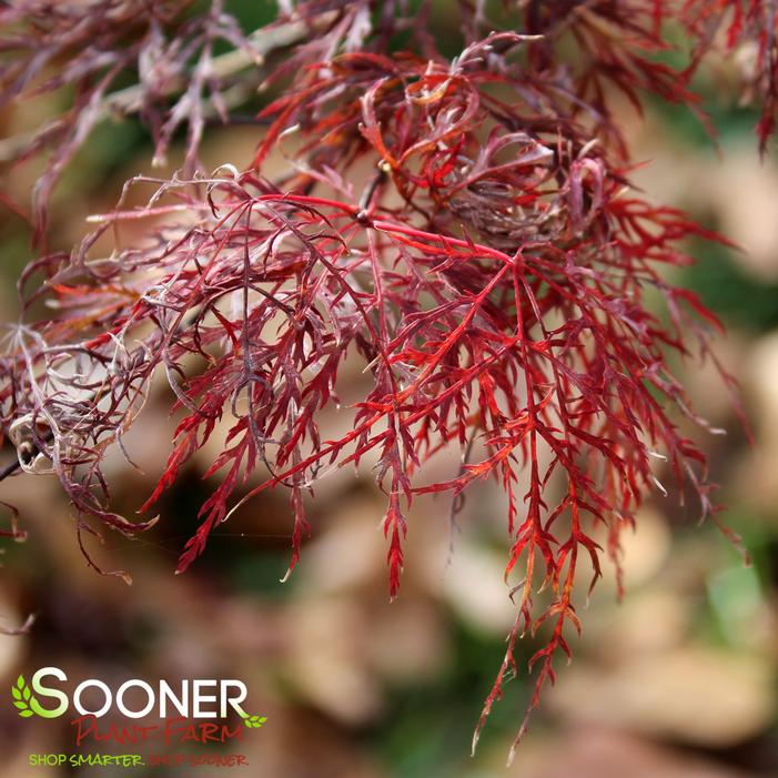 Red Filigree Lace Weeping Japanese Maple Buy Online Best Prices