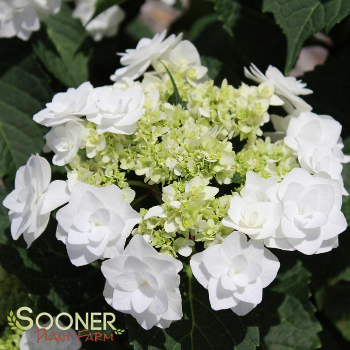 Wedding Gown Hydrangea Buy Online Best Prices