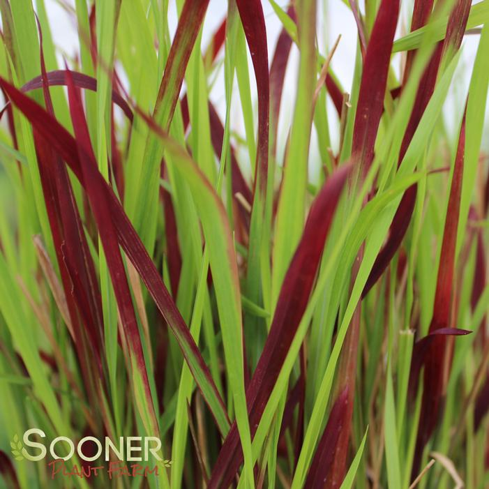 Red Baron Japanese Blood Grass Buy Online Best Prices
