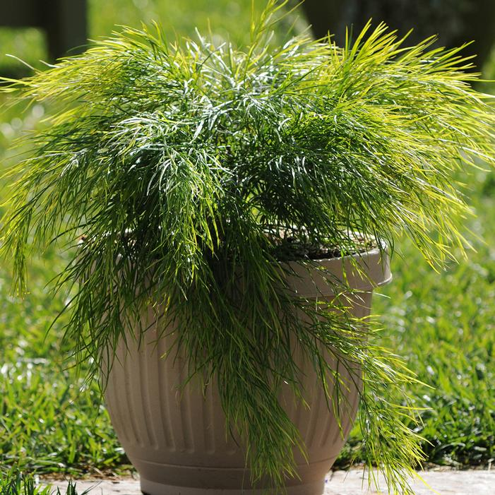 Cousin Itt Acacia Buy Online Best Prices