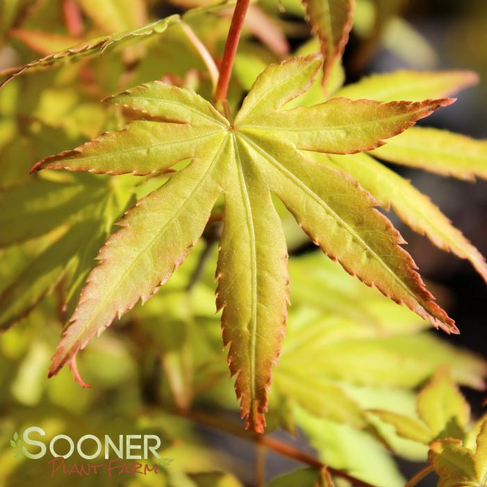 Orange Dream Upright Japanese Maple Buy Online Best Prices