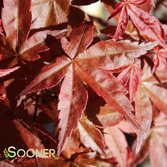 Deshojo Upright Japanese Maple Buy Online Best Prices