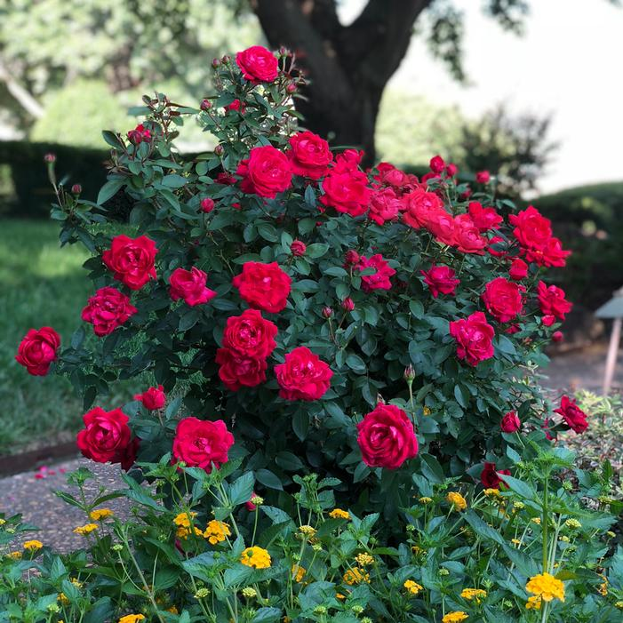 The Grand Champion Double Red Rose Buy Online Best Prices