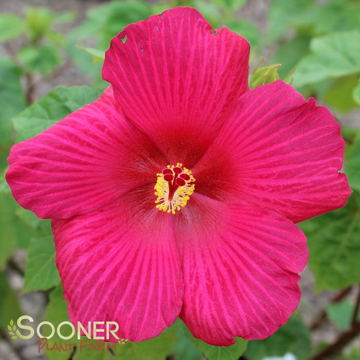 Big Hit Red Hardy Hibiscus Buy Online Best Prices