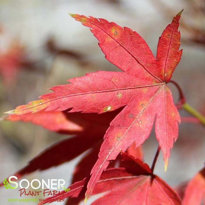 Wilson S Pink Dwarf Upright Japanese Maple Buy Online Best Prices