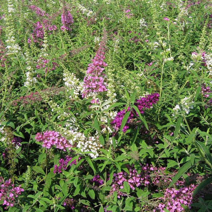 Tri Color Butterfly Bush Buy Online Best Prices