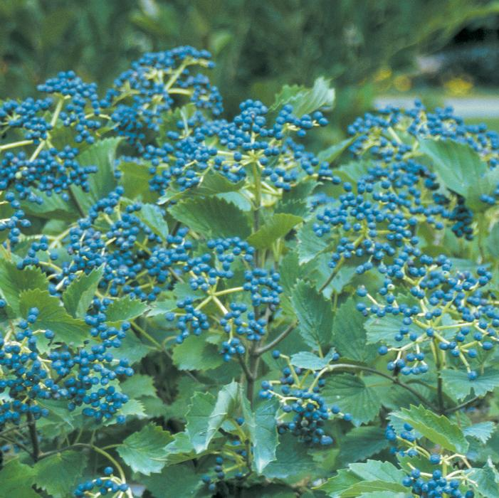 Blue Muffin 174 Viburnum Buy Online Best Prices