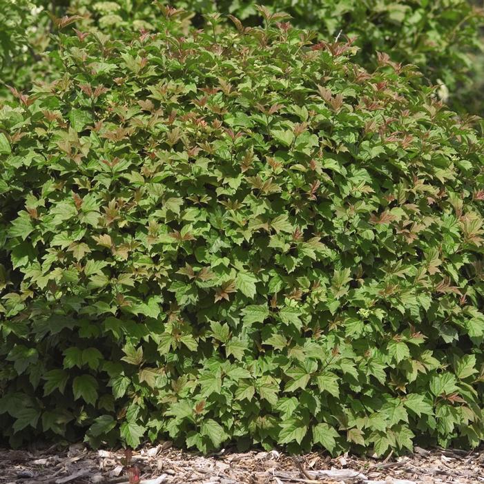 Dwarf European Cranberry Bush Buy Online Best Prices