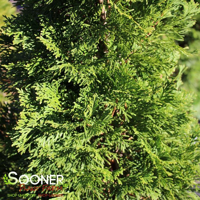 Emerald Green Arborvitea Buy Online Best Prices