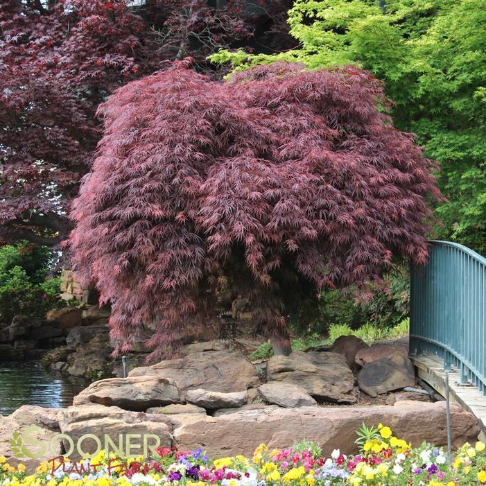 Crimson Queen Japanese Maple Buy Online Best Prices