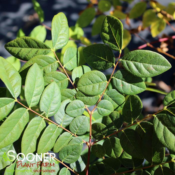 Kentucky Coffeetree Buy Online, Best Prices