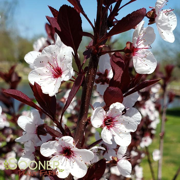 Purpleleaf Sand Cherry Buy Online Best Prices